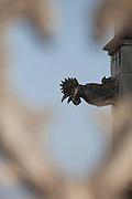 Detail of a gargoyle of the Batalha's Monastery, Batalha, Portugal. PHOTO PAULO CUNHA/4SEE