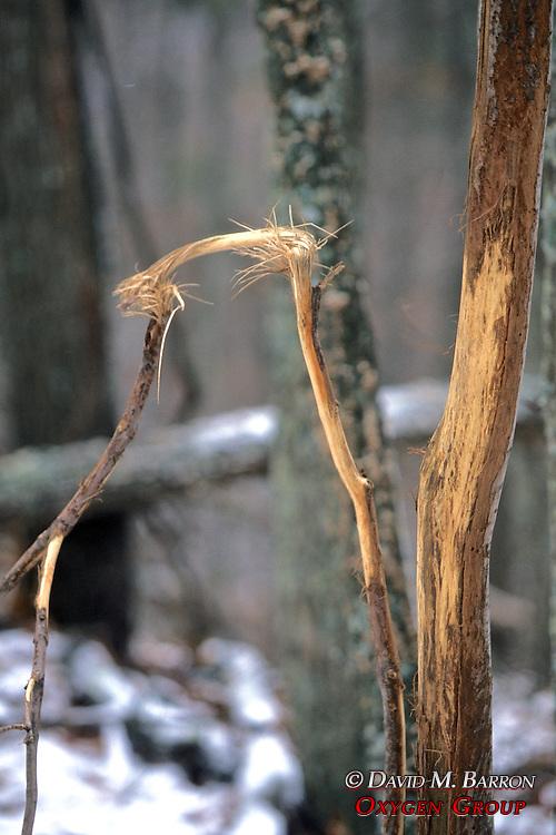 Tree Rubbed By Elk