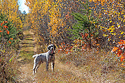 English setter hunting Ruffed Grouse and Woodcock in during a colorful fall in Wisconsin