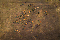Aerial view of cattle grazing in the field at sunset at the island of Vormsi in Estonia