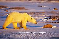 01874-07902 Polar Bear (Ursus maritimus) walking across frozen pond at sunset  Churchill  MB