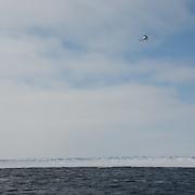 A helicopter flying over the Beaufort Sea. Kaktovik, Alaska.