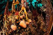 Kelp forest (Laminaria hyperborea) with Dead man's fingers  (Alcyonium digitatum), Atlantic Ocean, Strømsholmen, North West Norway | Ein Kelpwald oder Algenwald, der  hauptsächlich vom Palmentang (Laminaria hyperborea) gebildet wird. In dieser Gemeinschaft ist hier auch eine Tote Meerhand (Alcyonium digitatum) zu sehen. Sie wird auch auch Tote Mannshand oder Nordische Korkkoralle genannt und gehört zu den Lederkoralle (Alcyoniidae). Namensgebend ist ihr blasses, oft mehrfach gefingertes Aussehen.