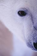 best-wildlife-prints-and-photo-decor-by-world-travel-photographer-randy-wells-videographer-filmmaker-cinematographer-storyteller-writer-location-and-studio-specialist, Portrait image of a polar bear (Ursus maritimus) in snow near Churchill in Manitoba, Canada