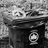 A raccoon in a garbage can at the Pond in Central Park