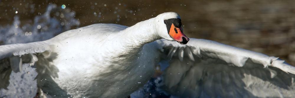 Mute Swan | Knoppsvane