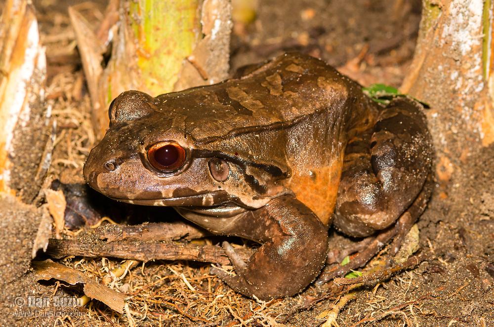 Smoky Jungle Frog, Leptodactylus pentadactylus, in Tortuguero National Park, Costa Rica