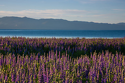"""""""Lupine at Lake Tahoe 3"""" - These Lupine wildflowers were photographed in the early morning at Lake Forest Beach, Lake Tahoe."""