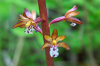 Close-up of the western spotted coralroot orchid growing near the shore of Lake Cle Elum on the eastern side of the Cascade Mountains. These beautifully spotted terrestrials are found across North America in northern forests from the Pacific Northwest to Newfoundland.