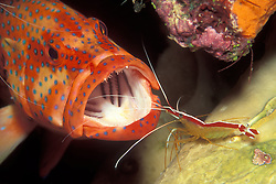 A Blue-spotted Coral Grouper, Cephalopholis miniata, says Ahhh while a Skunk cleaner shrimp, Lysmata amboinensis, inspects it for parasites. In a perfect example of symbiosis, the shrimp feeds on the parasites it removes, thus benefitting both parties.  Supremely confident in its status as a valued partner, the shrimp grooms its customers from head to tail, sometimes even crawling inside the mouth. Similan Islands Marine National Park, Thailand, Andaman Sea