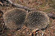 Echidna (Tachyglossus aculeatus) - male & female, curled in ball, Australia, defensive,