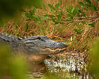 Alligator at Merritt Island Wildlife Reserve in Florida. Black Point Wildlife Drive. Image taken with a Nikon D3x and 600 mm f/4 VRII lens (ISO 200, 600 mm, f/4, 1/125 sec).