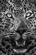 Porträt und Augen eines territorialen Leoparden-Männchens (Panthera panthera), Greater Kruger Area, Südafrika<br /> <br /> Portrait and eyes of a territorial leopard male (Panthera panthera), Greater Kruger Area, South Africa