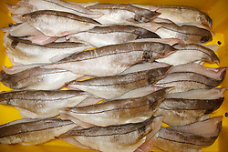 Crate of filleted haddock