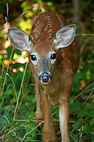 Inquisitive Fawn. Backyard Nature in my Backyard -- Summer in New Jersey. Image taken with a Nikon D700 and 28-300 mm lens (ISO 800, 300 mm, f/5.6, 1/60 sec). Raw image processed with Capture One Pro 6, Nik Define 2, and Photoshop CS5.