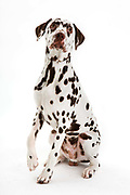Ladies Kennel Association<br /> 2008 Championships<br /> Liver Spotted Dalmation (Arson)<br /> Owner Garry Pascoe