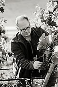 Mike Martin owner of The Walls winery inspecting grapes.
