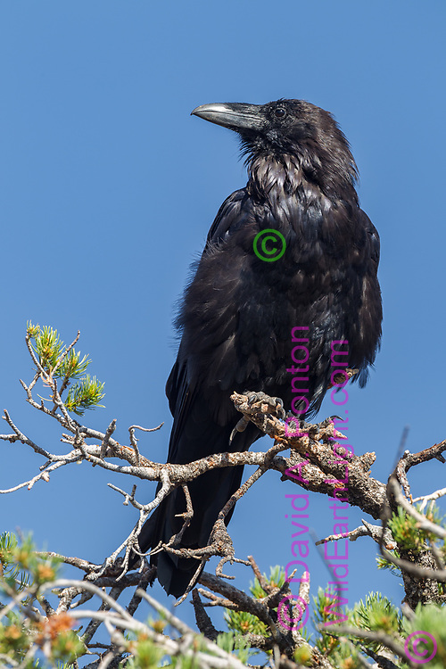 Raven perched in the top of a pinon pine, alert, south rim of the Grand Canyon, blue sky background, © David A. Ponton