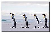 King Penguins walk the beach of Volunteer Point, East Falkland Islands. Nikon D850, 70-200mm @ 165mm, f4.5, EV+1.33, 1/1250sec, ISO250, Aperture priority