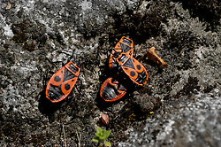 Vuurwants, Pyrrhocoris apterus