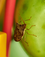 Stink Bug eating My Tomatoes. Image taken with a Fuji X-H1 camera and 80 mm f/2.8 macro lens