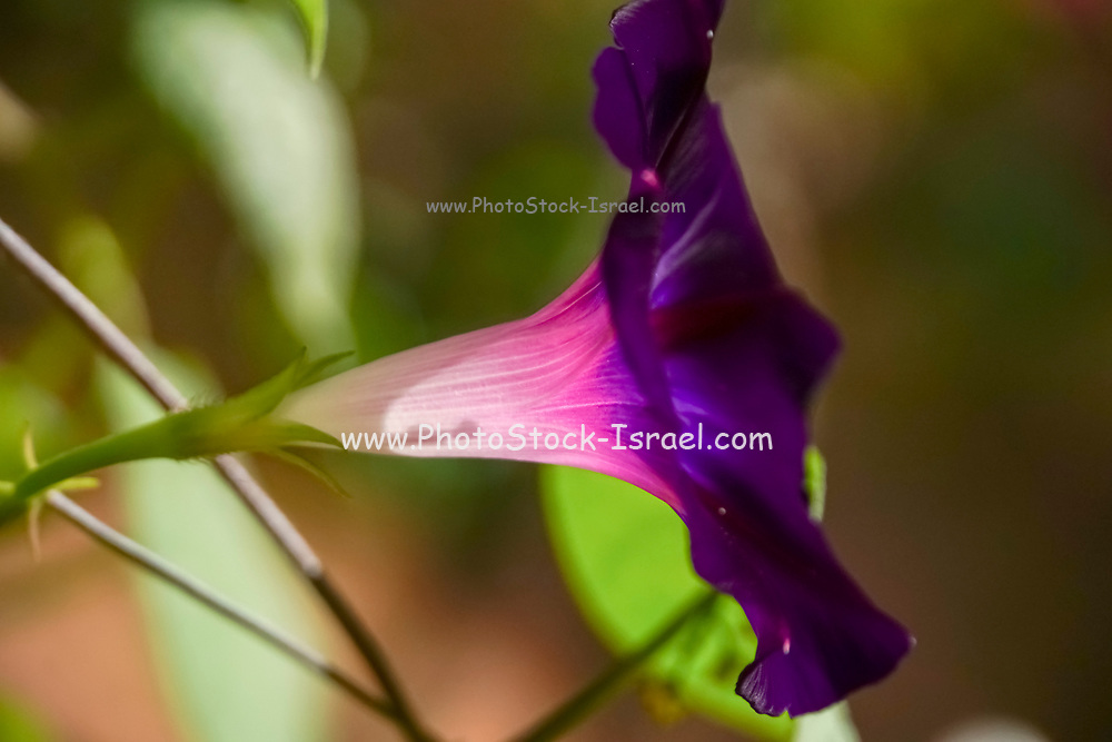 Side view of a flowering purple petunia
