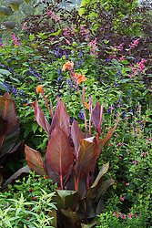 Canna 'Durban' with Salvia guaranitica 'Indigo', S. greggi 'Plum Wine' and S. involucrata 'Bethellii'