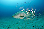 An endangered Goliath grouper, Epinephelus itajara, is accompanied by a school of Cigar minnows,Decapterus punctatus, as it swims past a shipwreck in Palm Beach County, Florida, United States.