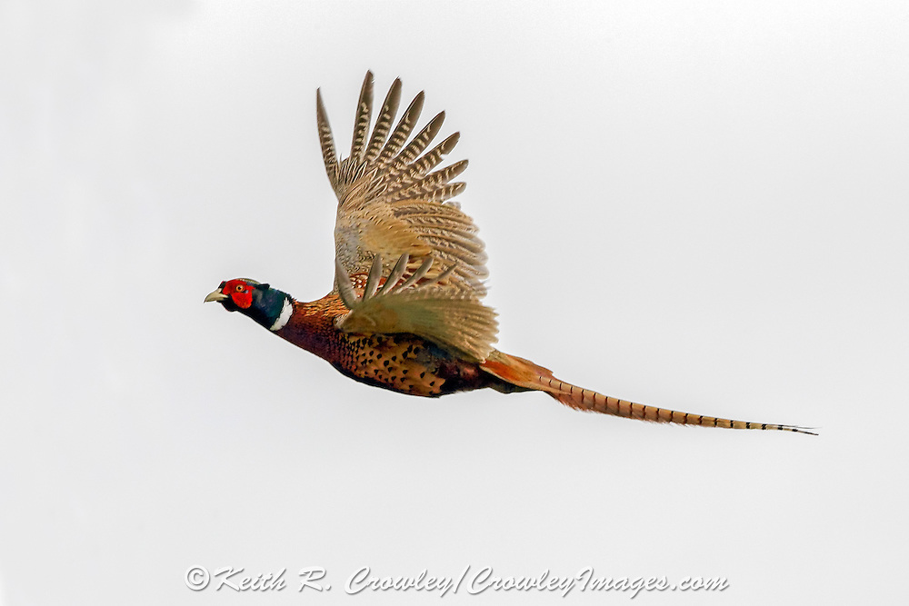Rooster Pheasant in Flight on light background