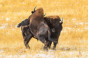 Two Plains bison (Bison bison) fight in an open area in the Fountain Flat area of Yellowstone National Park, Wyoming. Plains bison are often mistakenly referred to as buffalo; they share only a distant relationship with true buffalo.