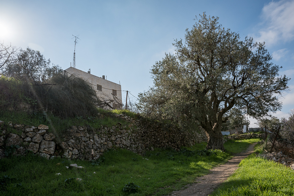 2 March 2020, Hebron: An olive tree grows in front of an Israeli settlers house in the area of Tel Rumeida, Hebron, West Bank.