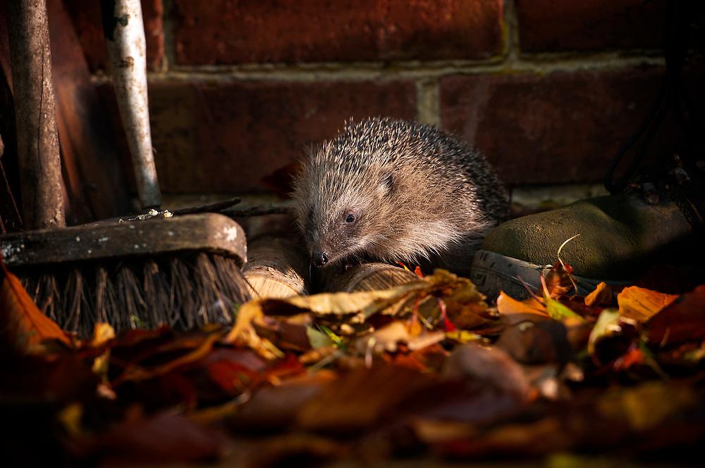 Hedgehog, Erinaceus europaeus, foraging in Autumn leaves, Staffordshire, England, UK.<br /> Photo: Ed Maynard<br /> 07976 239803<br /> www.edmaynard.com