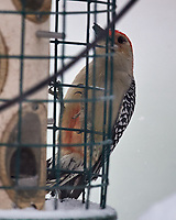 Red-bellied Woodpecker (Melanerpes carolinus). Image taken with a Nikon D5 camera and 600 mm f/4 VR telephoto lens.