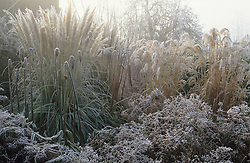 Hoar frost on grasses and seedheads in the Peacock Garden at Great Dixter. Aster lateriflorus 'Horizontalis', Cortaderia selloana 'Pumila' and Miscanthus sinensis 'Silver Feather'