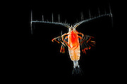 Marine Planktonic Copepod Euchirella sp. comprises tropical and subtropical forms. The genus.comprises more than 30 species. [size of single organism: 1 mm]| Der Ruderfußkrebs der Gattung (Euchirella sp.) hat den charakteristischen Körperbau dieser Krebsgruppe mit den langen, seitwärts gerichteten Antennen. Ruderfußkrebse sind in der Nahrungskette das Bindeglied zwischen dem Phytoplankton und größeren Räubern im Meer. Sie stellen mindestens 60% der gesamten Biomasse des marinen Planktons.