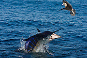 Jumping Striped Marlin nearly spears a gull looking for a free meal.