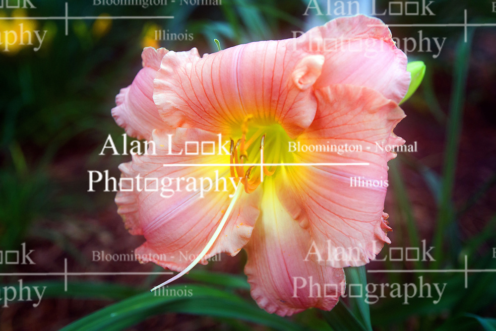 30 June 2014:   Pink Lilly bloom.  Softness in image produced by humidity hazing camera lens.