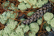 Pine cone in lichen on an island in a lake in Quebec, Canada.