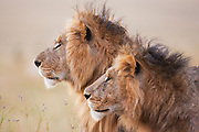 A pair of sub-adult male African lions  (Panthera Leo) sit together on a cool winter morning, Masai Mara, Kenya