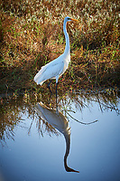 Great Egret. Morning at Black Point Wildlife Drive in Merritt Island National Wildlife Refuge. Image taken with a Nikon D700 camera and 18-300mm VR lens (ISO 200, 300 mm, f/5.6, 1/320 sec).