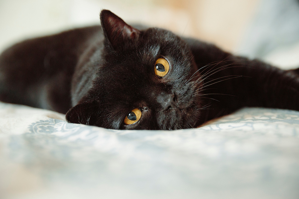 Black cat with yellow eyes staring at the camera