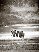 African Elephants crossing a river at South Luangwa Valley National Park, Zambia, Africa