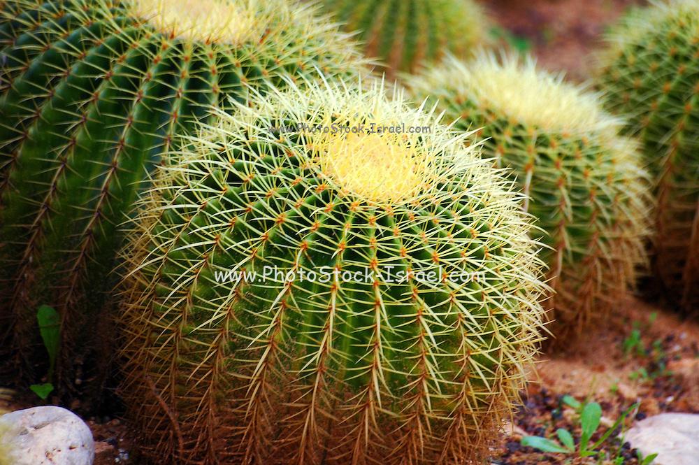 Mexican Echinocactus grusonii cactus