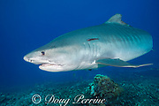 tiger shark, Galeocerdo cuvier, with remora or sharksucker on flank, swims over coral reef, Honokohau, Kona, Big Island, Hawaii, USA ( Central Pacific Ocean )