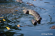 saltwater crocodiles, Crocodylus porosus (c), mating or showing courtship behavior, Thailand