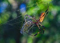 Nephila clavipes, The Golden Silk Orb Weaver with Darner dragonfly.  Bourlay Nature Park, Leesburg. Florida. USA