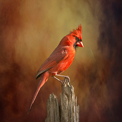 A Male Northern Cardinal Stands Slightly Inquisitive Upon A Broken Tree Stump Against A Moody Backdrop.