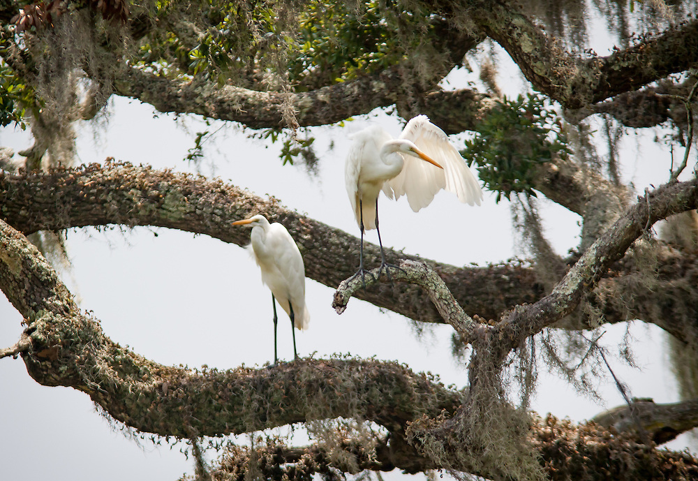 Two egrets preen among the fern-covered limbs of a large, moss-draped live oak along the May River near Bluffton, SC.
