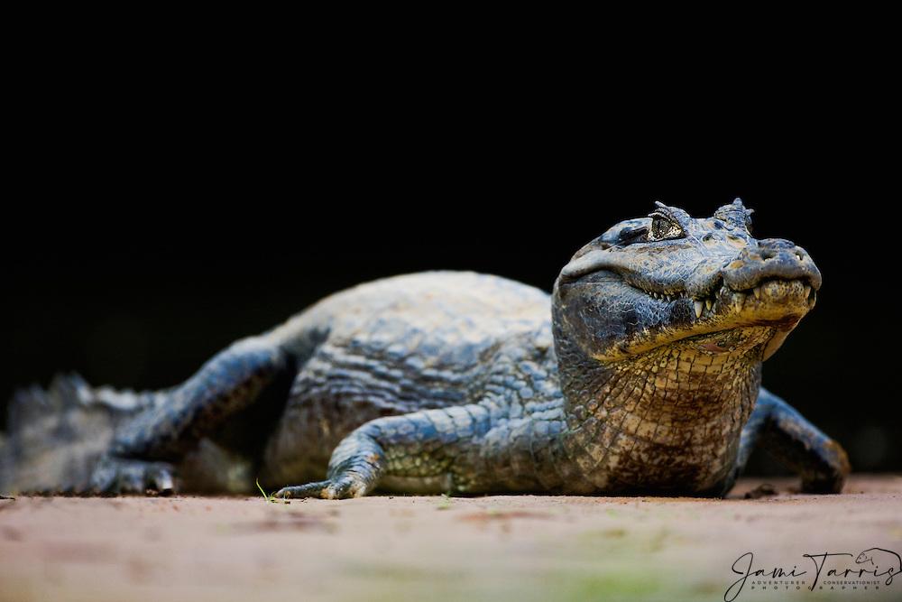 A yacare caiman ( Caiman yacare) on the sand at eye-level, Mato Grosso, Pantanal, Brazil,South America