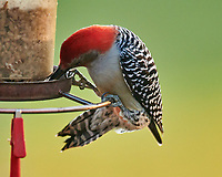 Red-bellied Woodpecker. Image taken with a Nikon D850 camera and 600 mm f/4 VR lens